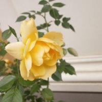 Розы в Летнем саду. :: Валентина Жукова