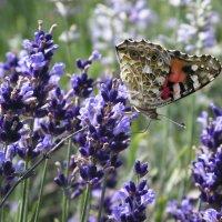 Бабочка на лаванде. :: Барбара