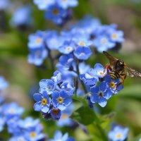 Незабудка и насекомые :: Raisa Ivanova