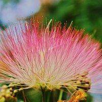 цветок ленкораньской акации :: Валерий Дворников