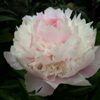 Пион молочноцветковый Печер / Paeonia Lactiflora Pecher :: lenrouz