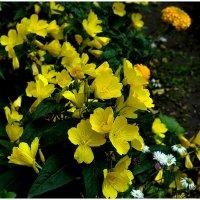 Цветы жёлтые. :: Анатолий