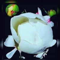 Ночные цветы 3 :: Владимир Хатмулин