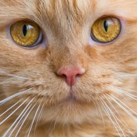 Рыжый кот :: Наталья Богданова