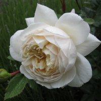 Crocus Rose®   Austin :: lenrouz