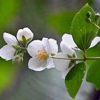 Белеют в зелени жемчужные цветы... :: Ольга Русанова (olg-rusanowa2010)