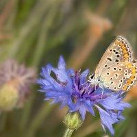 Голубянка на голубом :: Татьяна Грачева
