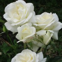 Белые розы... :: галина