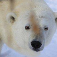 Белая Медведица Гуля :: Savayr