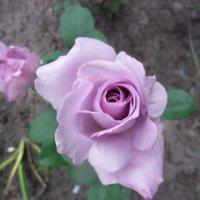 роза фиолетовая :: Людмила