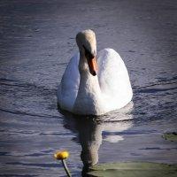Лебедь и кувшинка. :: Nonna