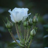 Роза белая... :: Nonna
