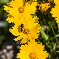 Пчела на цветке :: Николай Николенко