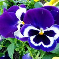 Фиалки-бабочки :: Таня Фиалка