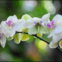 орхидея :: Оксана Беликина (БЕЛКА)