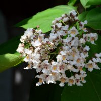 белая гроздь... :: Александр С.