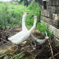 Жили у бабуси два веселых гуся :: Лариса Рогова