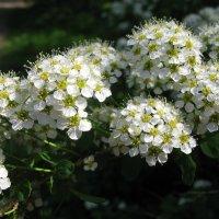 Был месяц май, цвели сады... :: ТАТЬЯНА (tatik)