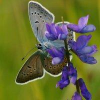 Бабочка... :: Федор Кованский