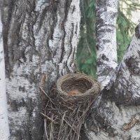 Гнездо дрозда-рябинника :: Domna Kuznechic