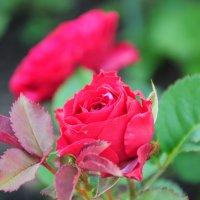 мамины цветы :: Гульнара Вагисарова