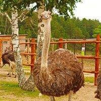 Страусик в зоопарке около нашего дома)) :: Nadezhda Ulitina