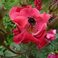 Гвоздичная роза :: Валюша Черкасова