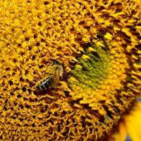 Пчелка Мая вся в трудах.... :: Nataliya Oleinik