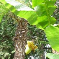 Лазаревский банан :: Равиль Хакимов