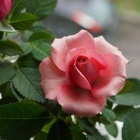 Розы бывают разные ... :: Pol Art