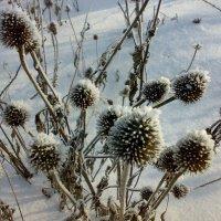 эхинацея зимой :: natali