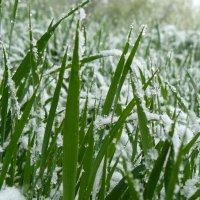 июньский снег :: Лиса ***