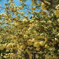 Плетистые розы. :: Жанна Мааита