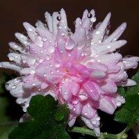 Комнатная хризантема :: *ALISA* ( minck55 )