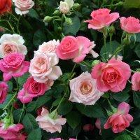 Розы :: Лариса Вишневская