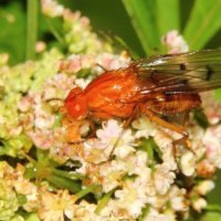 Рыжая муха :: Aнна Зарубина