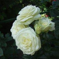 Белые розы :: Anton Сараев