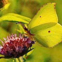 про бабочку ,которая пьёт нектар :: Александр Шурпаков