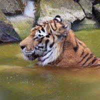 И тигру бывает жарко... :: Марина Назарова