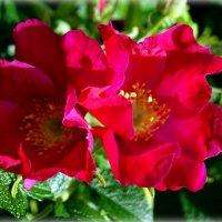 Цветы шиповника... :: Наталья Агеева