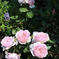 Розы :: Ксения