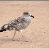 чайка серебристая :: linnud