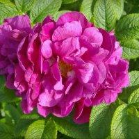 Почти розы :: lady v.ekaterina