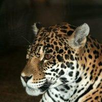 Леопард. :: юрий