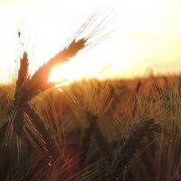 Пшеница :: Vlad Kotov