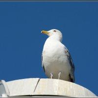 серебристая чайка :: linnud