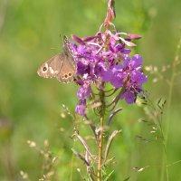 Бабочка :: Наталья Грязнова
