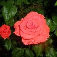 Вечерняя роза :: Татьяна Пальчикова
