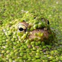 Эти глаза в болоте... :: Александр С.