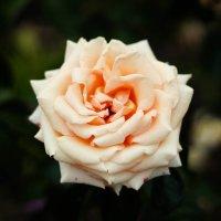 чайная роза :: Лена Исаева